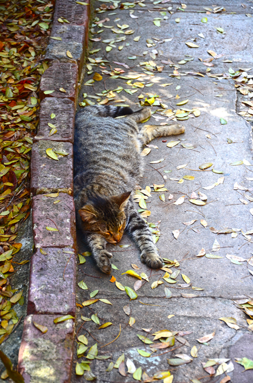 One of the fifty Hemingway House cats